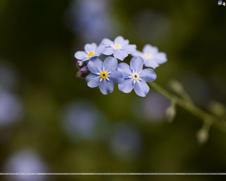 forget-me-not-6a