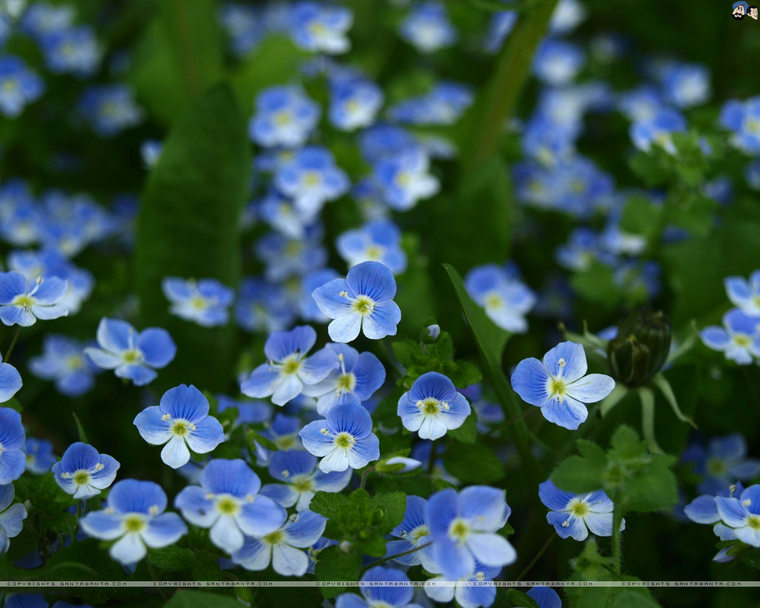 forget-me-not-5d