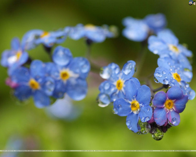 forget-me-not-2d