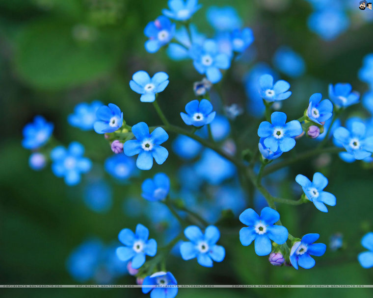 forget-me-not-1v