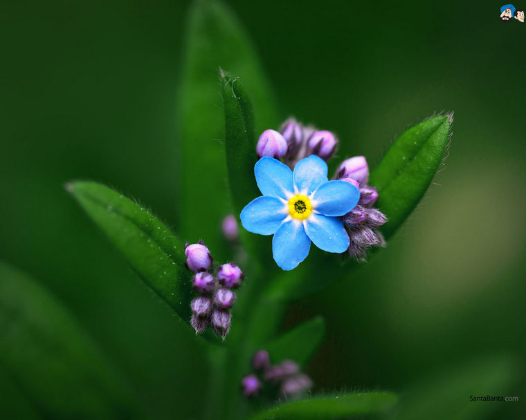 forget-me-not-9v
