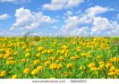 field-of-beautiful-yellow-flowers-and-perfect-blue-sky-in-sunny-summer-day-58266553-thumbnail