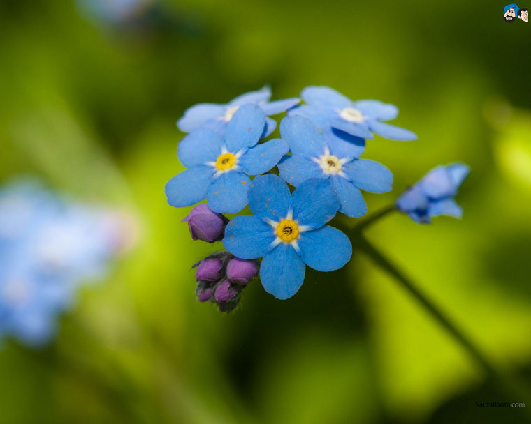 forget-me-not-10a