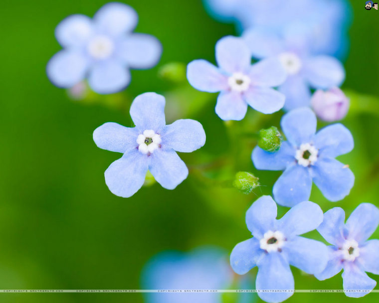 forget-me-not-7v