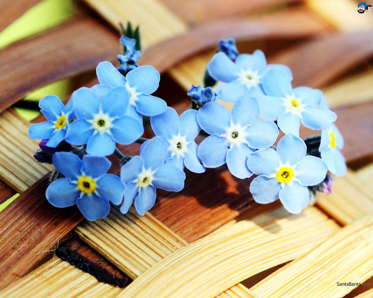 forget-me-not-15a