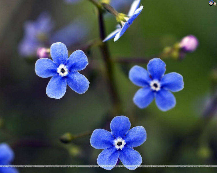 forget-me-not-4v